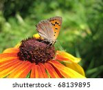Small photo of Butterfly Lycaena (Heodes) virgaureae on flower rudbeckia
