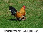 Rooster Running On The Grass A...