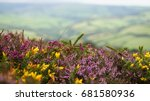 Purple Heather And Yellow Gorse ...
