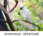 white parrot sulphur crested... | Shutterstock . vector #681641668