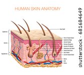 human skin anatomy vector... | Shutterstock .eps vector #681684649