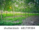 rubber forest  latex extracted... | Shutterstock . vector #681739384