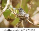 Anna\'s Hummingbird Building He...
