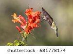 anna's hummingbird feeding at... | Shutterstock . vector #681778174