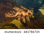 Golden Leafy Sea Dragon In Kel...
