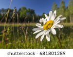Anthemis And Green Bug