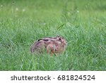 Hare Hiding In The Grass. Sits...