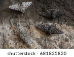 Peppered Moth  Biston Betulari...