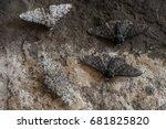 Peppered Moth  Biston Betulari...
