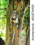 Small photo of Dusky leaf monkey or Dusky langur at Prachuap Khiri Khan ,Thailand - Scientific Name (Animalia,Cercopithecidae, Chordata,Haplorhini,Mammalia, Presbytis melalophos)