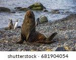 antarctic fur seal on... | Shutterstock . vector #681904054