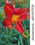 hemerocallis  day lily flowers