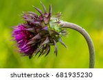 The Curly Plumeless Thistle Or...
