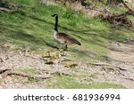 A Canada Goose And Its Gosling...