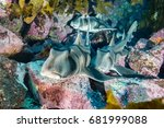 port jackson shark in kelp beds ... | Shutterstock . vector #681999088