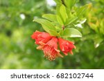 Pomegranate Tree Flowers