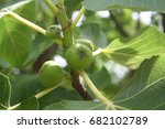 green young figs on branch | Shutterstock . vector #682102789