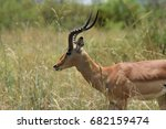 Young Antelope Grazing