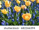 Beautiful Yellow Tulips And...