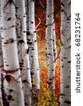 Detail Of Golden Autumn Birch...