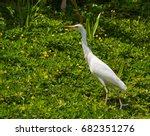 White Egret Walking Through A...