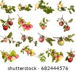 branches of apple tree with... | Shutterstock . vector #682444576