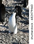 Small photo of Paulet Island Antarctica, adult adelie penguin