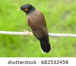 Small photo of Common Myna (Acridotheres tristis)