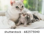 Stock photo american shorthair cat hugging her kitten with love 682575040