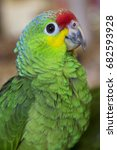 Small photo of closeup of head and body of red-lored amazon, Amazona autumnalis