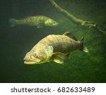 the zander or pike perch ... | Shutterstock . vector #682633489