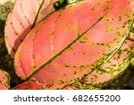 close up red and green leaves... | Shutterstock . vector #682655200