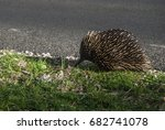 echidna   spiny anteaters | Shutterstock . vector #682741078