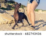 Stock photo young girl walking with her dog xoloitzcuintli on sand beach at sunset 682743436