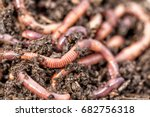 Macro Shot Of Red Worms...