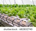 Organic Hydroponic Butterhead...