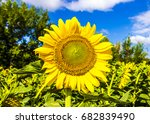 beautiful sunflower against the ... | Shutterstock . vector #682839490