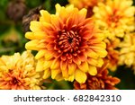 yellow and orange mums in a... | Shutterstock . vector #682842310