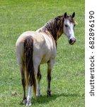 gelding grulla horse looking...   Shutterstock . vector #682896190