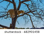 African Spotted Leopard After...