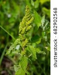 Small photo of Weed and medicinal plant Amaranthus retroflexus