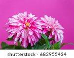 beautiful pink dahlia on a pink ... | Shutterstock . vector #682955434