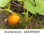 Growing A Hokaido Pumpkin In...