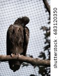 Small photo of The white-backed vulture (Gyps africanus) sitting on a tree