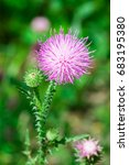 Blooming Welted Thistle ...