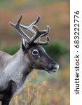 Reindeer Head Portrait In...