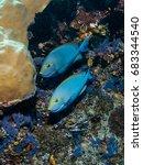 Small photo of Pair of yellowmask surgeofish (Acanthurus mata)