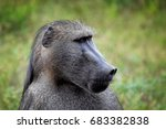 portrait of head of chacma... | Shutterstock . vector #683382838