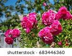 shrub rose flowers red rose... | Shutterstock . vector #683446360