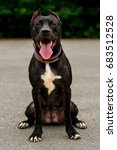 Small photo of Portrait Black and white American pit bull terrier lies similes with tongue in the park